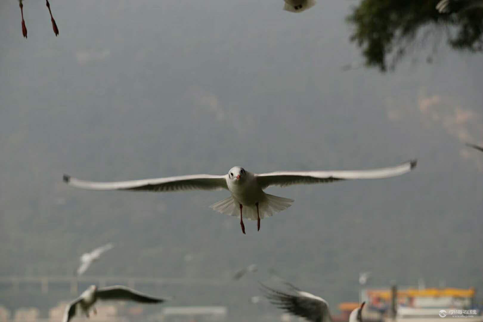 红嘴鸥3.jpg