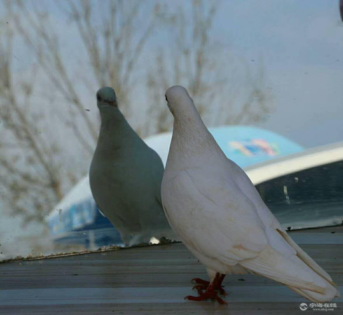 自恋的鸽子
